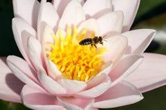 Lirio y abeja Imágenes de archivo libres de regalías