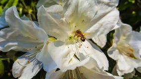 Lirio y abeja Imagen de archivo