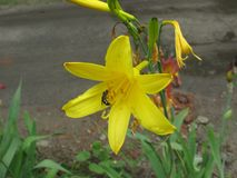 Lirio y abeja amarillos del verano Imagenes de archivo