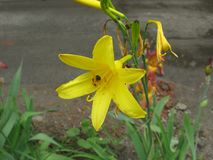 Lirio y abeja amarillos del verano Foto de archivo