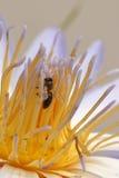 Lirio y abeja de agua Fotos de archivo
