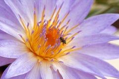 Lirio y abeja de agua Imágenes de archivo libres de regalías