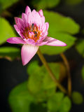 Lirio y abeja rosados de agua en el jardín Fotos de archivo