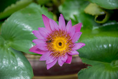 Lirio y abeja rosados florecientes coloridos de agua Fotografía de archivo