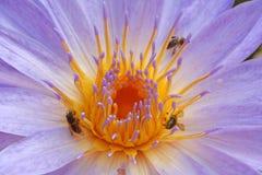 Lirio y abejas de agua Imagenes de archivo