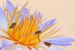 Lirio y abejas de agua Fotos de archivo libres de regalías