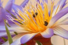Lirio y abejas de agua Fotografía de archivo