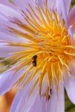 Lirio y abejas de agua Foto de archivo