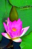 Lirio y brote rosados de agua Imagenes de archivo