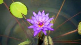 Lirio y Lily Pads púrpuras de agua en la charca Fotografía de archivo