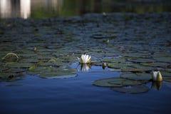 Lirio y reflexión de agua blanca en agua azul Fotos de archivo