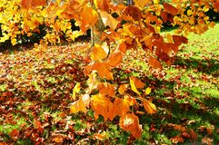 Liriodendro在秋天 库存图片