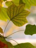 Liriodendron de las hojas imágenes de archivo libres de regalías