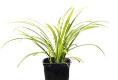 Liriope Green Grass stock images
