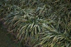 Liriope Muscari Plants Stock Photo Image Of Evergreen 113827564