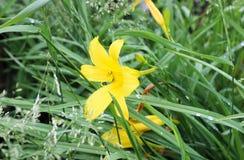Lirios amarillos Foto de archivo libre de regalías