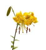 Lirios amarillos asiáticos Fotos de archivo
