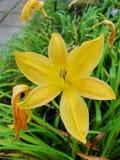 Lirios amarillos del lirio Lirio amarillo en descenso Imagen de archivo