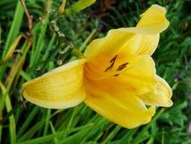Lirios amarillos del lirio Lirio amarillo en descenso Imagenes de archivo