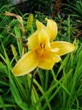 Lirios amarillos del lirio Lirio amarillo en descenso Foto de archivo libre de regalías