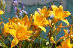 Lirios amarillos en el jardín Foto de archivo