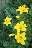 Lirios amarillos en el jardín delante de la casa Fotos de archivo