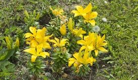 Lirios amarillos florecientes, flores grandes con los brotes fotografía de archivo