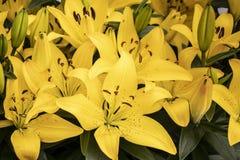 Lirios amarillos hermosos en el parque imagenes de archivo