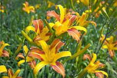 Lirios amarillos y anaranjados Imagen de archivo libre de regalías