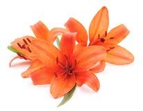 Lirios anaranjados Foto de archivo libre de regalías