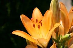 Lirios anaranjados Fotos de archivo