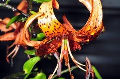 Lirios anaranjados en descensos del agua después de la lluvia Fotografía de archivo libre de regalías