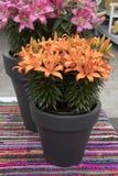 Lirios anaranjados hermosos en el jardín Fotografía de archivo libre de regalías