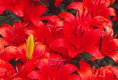 Lirios asiáticos en la floración Foto de archivo