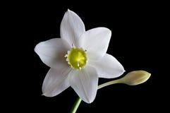 Lirios blancos de la flor Foto de archivo libre de regalías