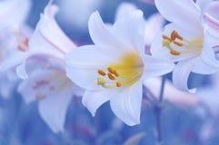 Lirios blancos delicados en un fondo azul en el jardín Imagen de archivo