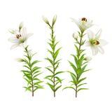 Lirios blancos Sistema de flores realistas Fotos de archivo