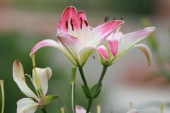 Lirios blancos y rosados para las señoras hermosas Apacible y hermoso foto de archivo libre de regalías