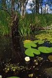 Lirios de agua fotografía de archivo