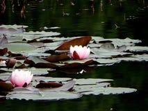 Lirios de agua Foto de archivo libre de regalías