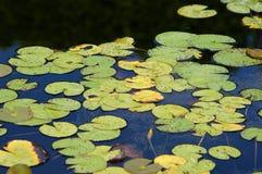 Lirios de agua Fotos de archivo libres de regalías
