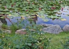 Lirios de agua Fotografía de archivo libre de regalías