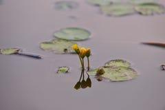 Lirios de agua amarilla en el salvaje Fotografía de archivo libre de regalías