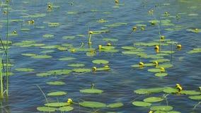 Lirios de agua amarilla almacen de video