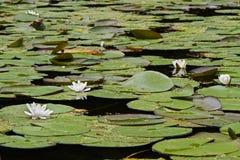 Lirios de agua blanca Fotos de archivo
