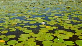 Lirios de agua blanca en el delta de Danubio Imagen de archivo