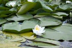 Lirios de agua blanca entre las hojas mojadas en el río foto de archivo