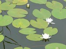 Lirios de agua blanca, Nymphaea alba Imagen de archivo libre de regalías