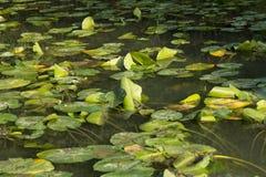 Lirios de agua, Borgoña, Francy Foto de archivo libre de regalías