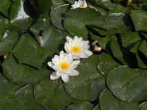 Lirios de agua bulgaria Jardín botánico Balchik Imagenes de archivo